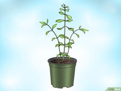 бакопа ампельная выращивание из семян
