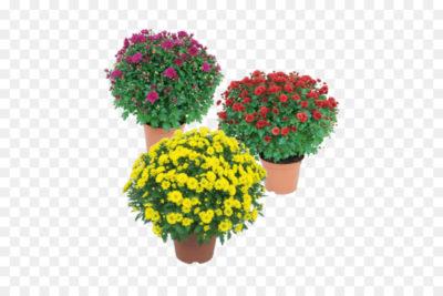 хризантема микс уход в домашних условиях
