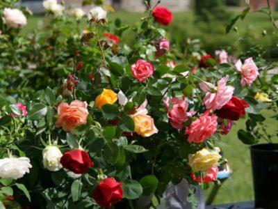 посадка парковых роз