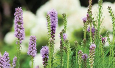 многолетний цветок лиатрис