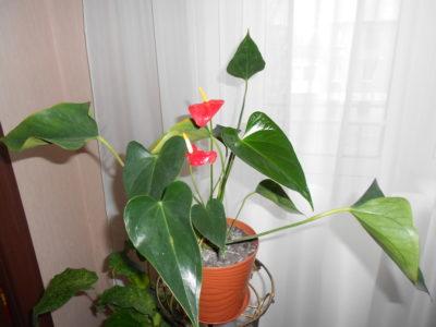 цветок мужское счастье желтеют листья что делать