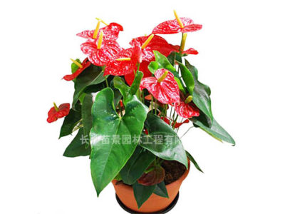 декоративно цветущие растения