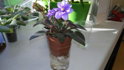 как заставить фиалку цвести