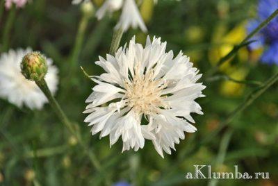 как собрать семена белого клевера
