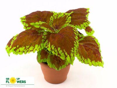 колеус выращивание из семян в домашних условиях