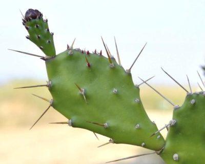 как выглядит кактус