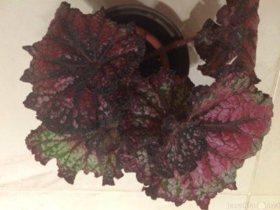 бегония крупноцветковая из семян
