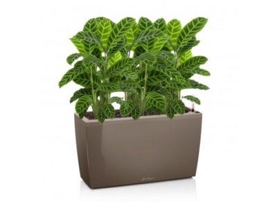 комнатные растения тропические