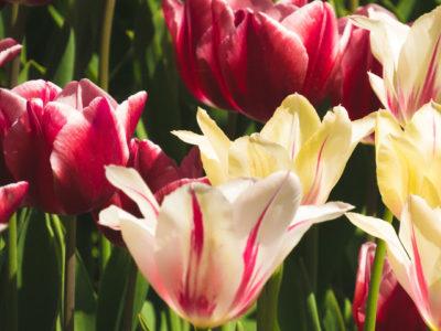 розовые тюльпаны сорта