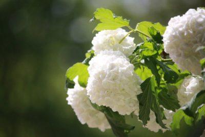 гортензия грандифлора метельчатая