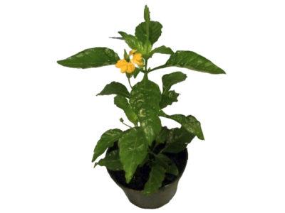 кофе арабика комнатное растение уход