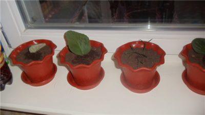 посев бегонии клубневой семенами