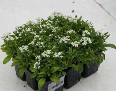 арабис альпийский выращивание из семян