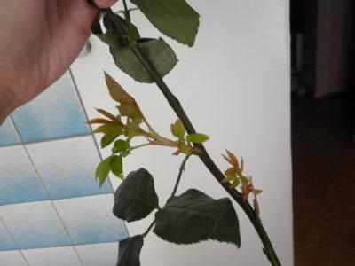 выращивание роз из черенков в домашних условиях зимой