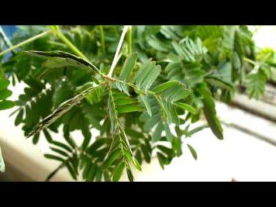 мимоза стыдливая выращивание из семян в домашних условиях