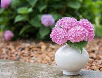 как сделать гортензию розовой