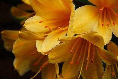кливия желтеют листья