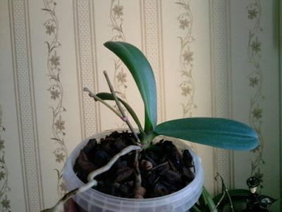 у орхидеи вянут листья что делать