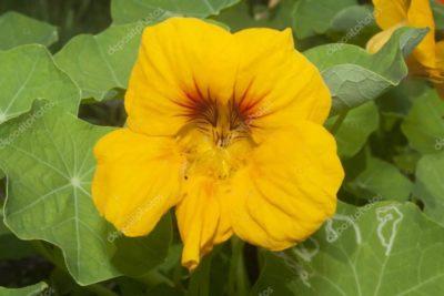 настурция выращивание из семян когда сажать