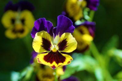 анютины глазки сколько цветут