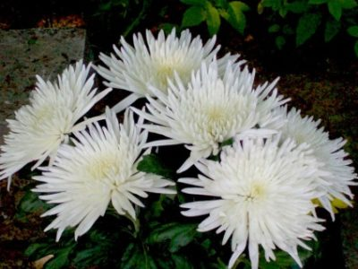 хризантема корейская выращивание из семян