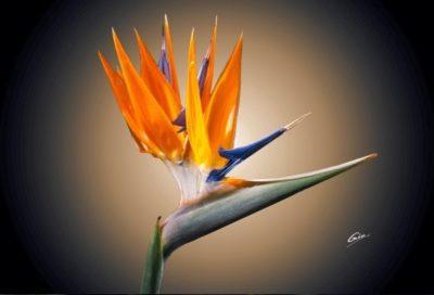 цветок жар птица