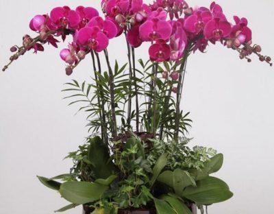 орхидея микс уход