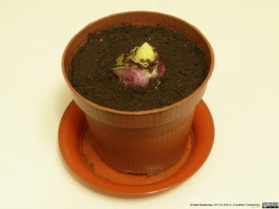 как правильно посадить гиацинт в горшок