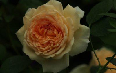 розы остина посадка и уход