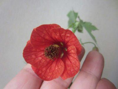 абутилон из семян в домашних условиях