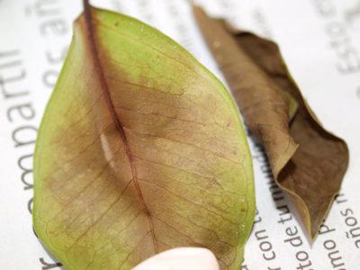 фикус бенджамина желтеют и опадают листья что делать