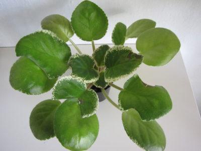 болезни фиалок пятна на листьях как лечить