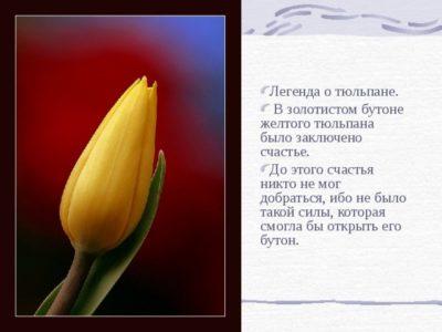 тюльпан краткое описание