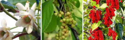 лимонник китайский выращивание и уход