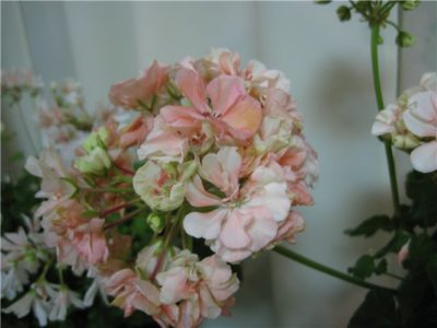 apple blossom пеларгония