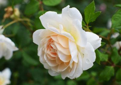 посадка английских роз