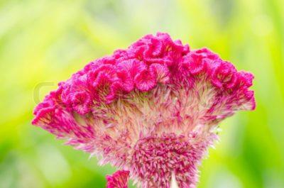 целозия выращивание из семян когда сажать