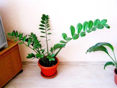 долларовое дерево уход в домашних условиях