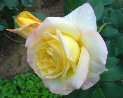 выращивание чайно гибридных роз
