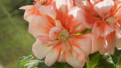westdale appleblossom пеларгония
