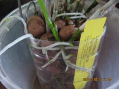 орхидея в керамзите как поливать