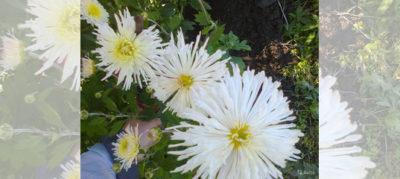 хризантема после зимовки