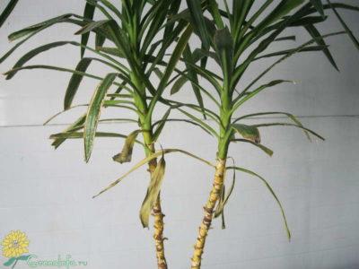 почему у юкки желтеют и сохнут нижние листья