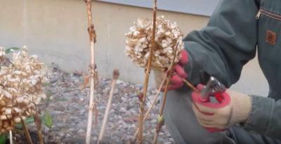 пересадка гортензии метельчатой осенью