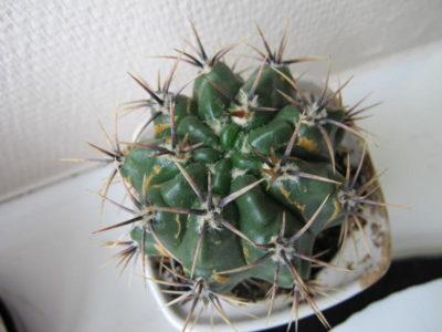полив кактусов летом