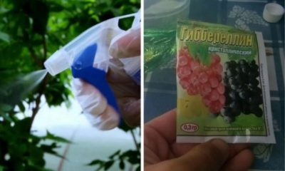 удобрения для гортензии садовой