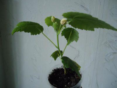 абутилон белла из семян