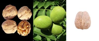 как посадить грецкий орех из ореха