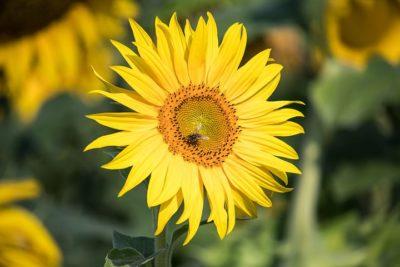 строение цветка подсолнечника