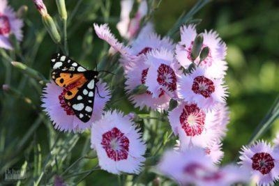 гвоздика травянка выращивание из семян